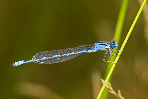 INS 13 DA0003 01 © Kimball Stock Familiar Bluet Damselfly Male Perched On Blade Of Grass