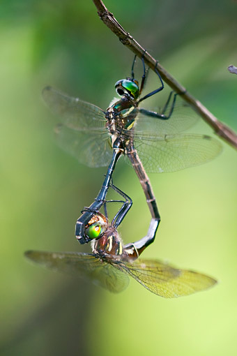 INS 13 DA0007 01 © Kimball Stock Hine's Emerald Male And Female Mating