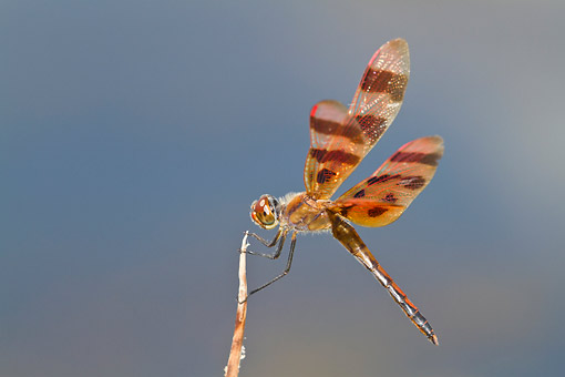 INS 13 DA0015 01 © Kimball Stock Halloween Pennant Male Perched On Stick In Wetlands