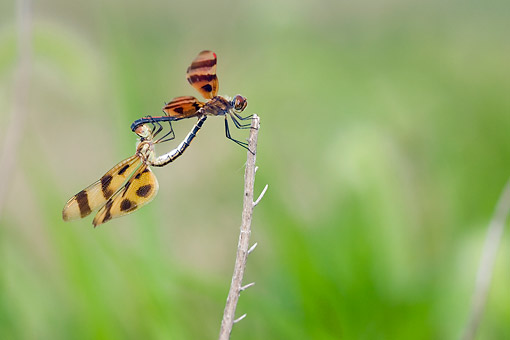 INS 13 DA0017 01 © Kimball Stock Halloween Pennant Male And Female Mating In Wetlands