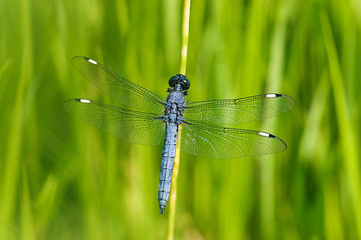 INS 13 DA0019 01 © Kimball Stock Spangled Skimmer Male Perched On Blade Of Grass In Wetlands