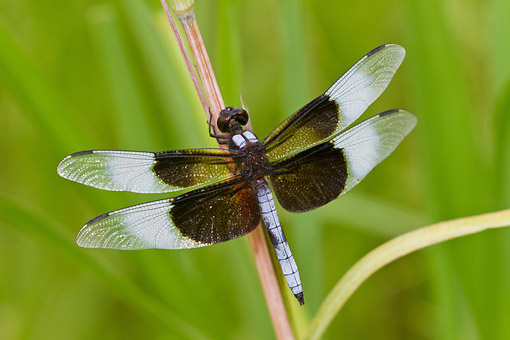 INS 13 DA0020 01 © Kimball Stock Widow Skimmer Dragonfly Male Perched On Stem In Wetlands