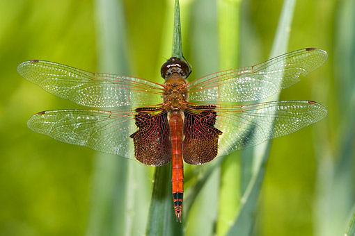 INS 13 DA0023 01 © Kimball Stock Carolina Saddlebags Dragonfly Perched On Blade Of Grass In Prairie