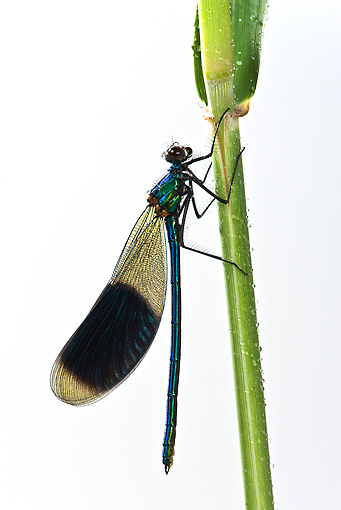 INS 13 KH0001 01 © Kimball Stock Azure Bright Dragonfly Male Perched On Stem On White Seamless