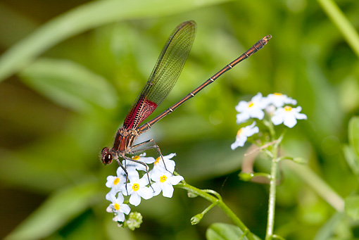 INS 13 LS0009 01 © Kimball Stock American Rubyspot Damselfly Resting On Blue Forget-Me-Not Blossoms