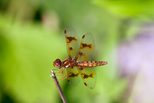 INS 13 LS0010 01 © Kimball Stock Eastern Amberwing Dragonfly Perched On Twig
