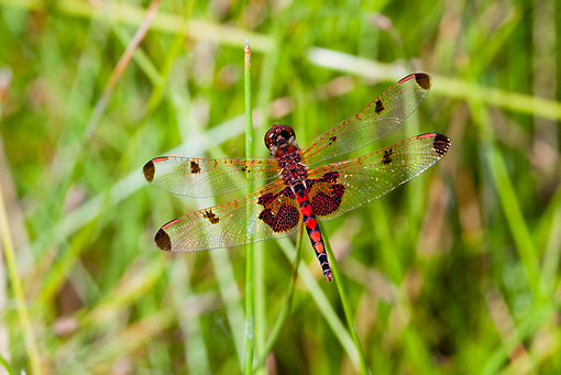 INS 13 LS0011 01 © Kimball Stock Calico Pennant Dragonfly Perched On Reed