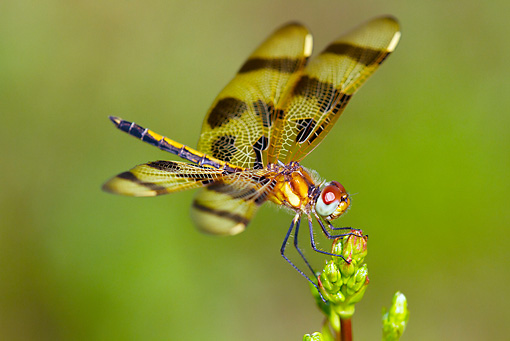 INS 13 LS0017 01 © Kimball Stock Halloween Pennant Dragonfly Female Resting On Weed Stem Haddam, Connecticut