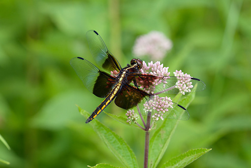 INS 13 LS0019 01 © Kimball Stock Window Skimmer Female Perched On Joe-Pye Weed North Guilford, Connecticut