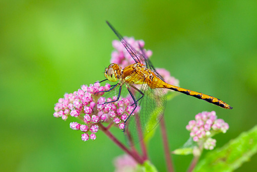 INS 13 LS0020 01 © Kimball Stock Ruby Meadowhawk Dragonfly Female Perched On Swamp Milkweed North Guilford, Connecticut