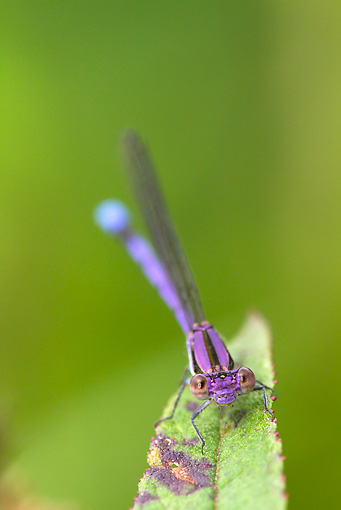 INS 13 LS0023 01 © Kimball Stock Violet Dancer Damselfly Perched On Leaf Durham, Connecticut