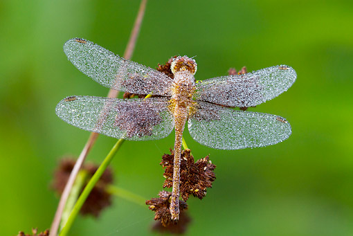 INS 13 LS0024 01 © Kimball Stock Ruby Meadowhawk Dragonfly Female Covered In Dew Perched On Reed In Wetland