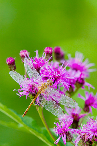 INS 13 LS0025 01 © Kimball Stock Ruby Meadowhawk Dragonfly Female Covered In Dew Perched On Ironweed In Wetland