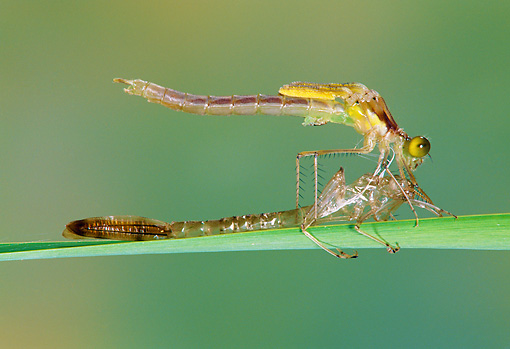 INS 13 MC0001 01 © Kimball Stock Damselfly Emerging From Larval Case