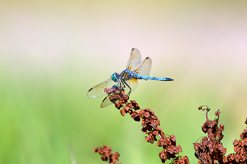INS 13 TL0007 01 © Kimball Stock Blue Dasher Dragonfly Sitting On Plant