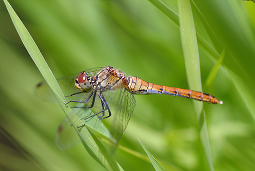 INS 13 WF0005 01 © Kimball Stock Ruddy Darter Resting On Blade Of Grass