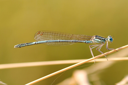 INS 13 WF0006 01 © Kimball Stock White-Legged Damselfly Resting On Stalk