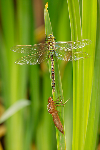 INS 13 WF0014 01 © Kimball Stock Emperor Dragonfly Perched On Leaf By Larval Case