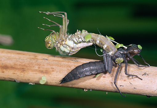INS 13 WF0017 01 © Kimball Stock Southern Hawker Emerging From Larval Case On Branch