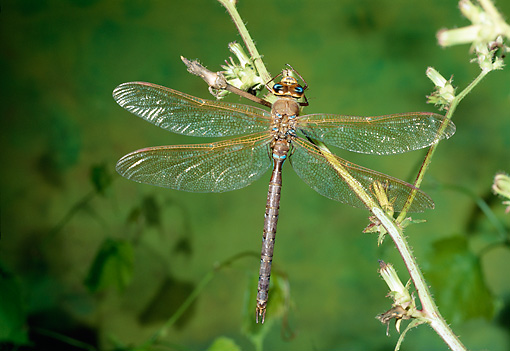 INS 13 WF0018 01 © Kimball Stock Brown Hawker Perched On Stem