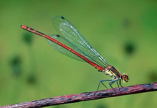 INS 13 WF0020 01 © Kimball Stock Large Red Damselfly Perched On Twig