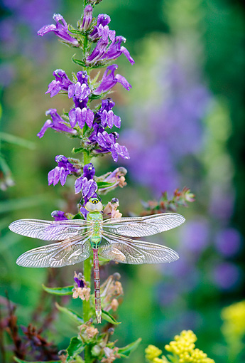 INS 13 LS0001 01 © Kimball Stock Dragonfly Resting On Blue Lobelia Flowers