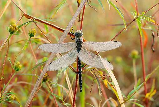 INS 13 LS0002 01 © Kimball Stock Dragonfly Resting On Stem In Tall Grass