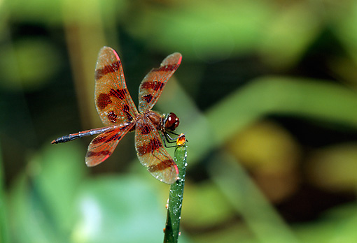 INS 13 LS0003 01 © Kimball Stock Halloween Pennant Dragonfly Resting On Plant Stem