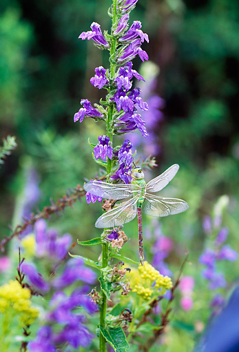 INS 13 LS0005 01 © Kimball Stock Dragonfly Resting On Blue Lobelia Flowers