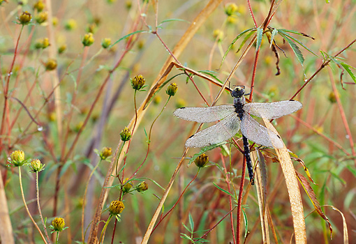INS 13 LS0007 01 © Kimball Stock Dragonfly Resting On Stem In Tall Grass