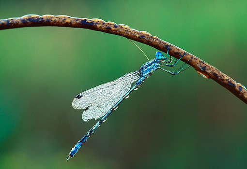 INS 13 LS0008 01 © Kimball Stock Dew-Covered Damselfly Resting On Stem