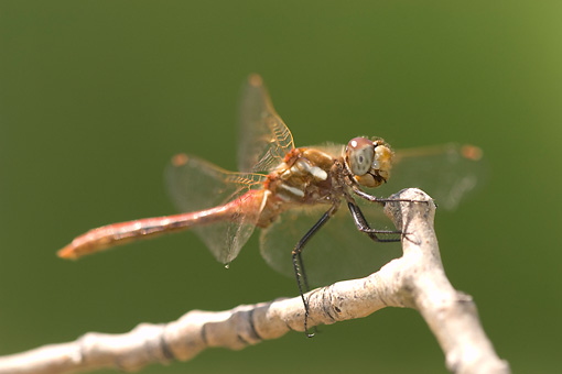 INS 13 NE0001 01 © Kimball Stock Red Dragonfly Sitting On Twig
