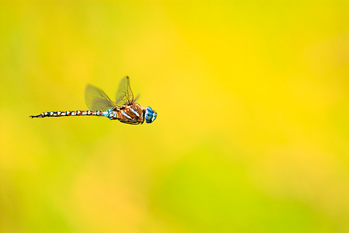 INS 13 TL0001 01 © Kimball Stock Blue-Eyed Darner Dragonfly Male Flying Over Grassy Field