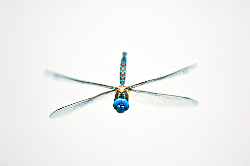 INS 13 TL0002 01 © Kimball Stock Blue-Eyed Darner Dragonfly Male Flying Toward Camera