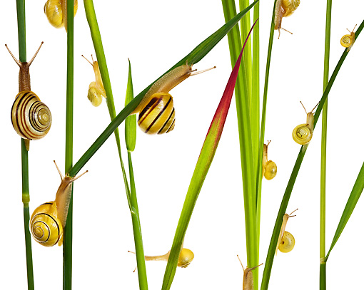 INS 15 KH0001 01 © Kimball Stock Snails Crawling On Blades Of Grass And Flower Stems On White Seamless