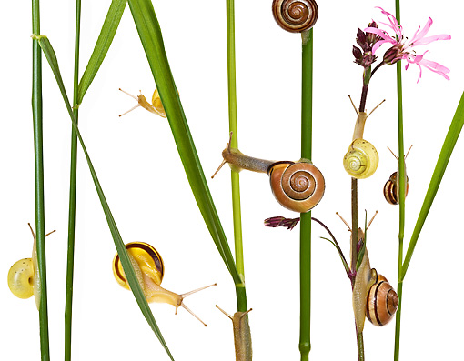 INS 15 KH0003 01 © Kimball Stock Snails Crawling On Blades Of Grass And Flower Stems On White Seamless
