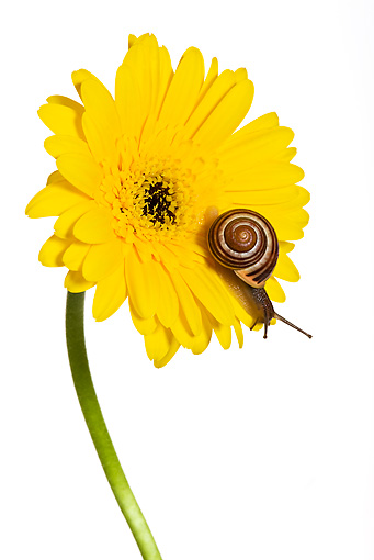 INS 15 KH0011 01 © Kimball Stock Snail Crawling On Yellow Gerbera On White Seamless