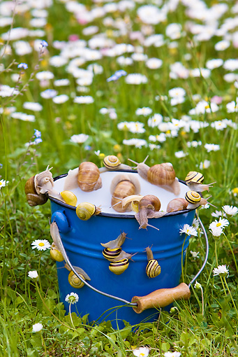 INS 15 KH0012 01 © Kimball Stock Snails Escaping From Blue Bucket In Garden