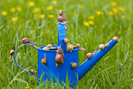 INS 15 KH0013 01 © Kimball Stock Snails Crawling On Blue Watering Can In Garden