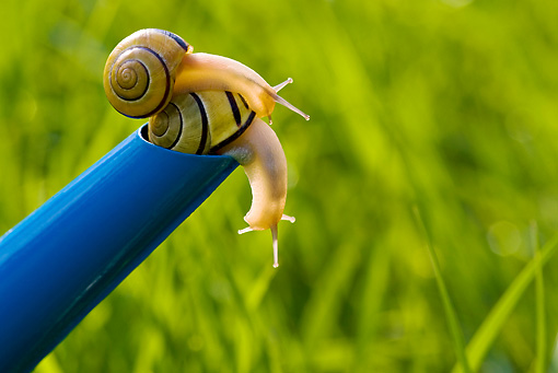 INS 15 KH0014 01 © Kimball Stock Close-Up Of Snails Crawling On Blue Watering Can In Garden