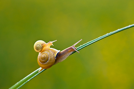 INS 15 KH0018 01 © Kimball Stock Snail Crawling On Blade Of Grass With Baby Snail On Back