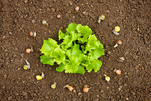 INS 15 KH0019 01 © Kimball Stock Snails In Circle Surrounding Salad In Garden