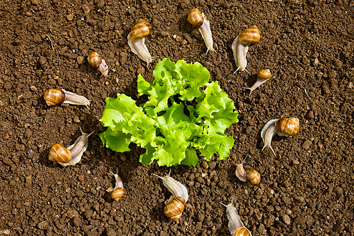 INS 15 KH0020 01 © Kimball Stock Snails In Circle Surrounding Salad In Garden