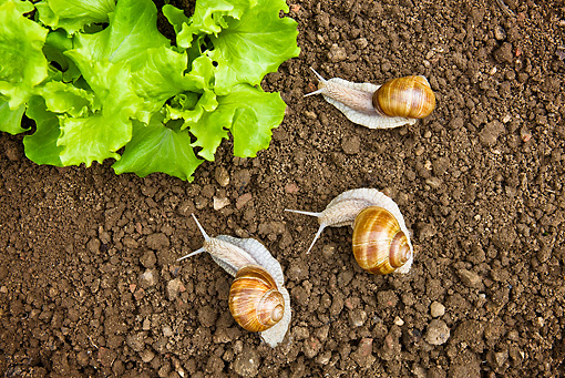 INS 15 KH0021 01 © Kimball Stock Three Snails Surrounding Salad In Garden