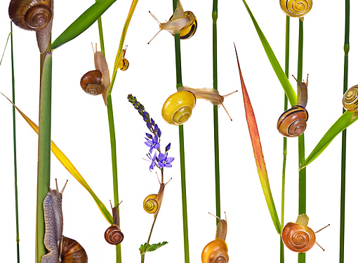 INS 15 KH0022 01 © Kimball Stock Snails Crawling On Blades Of Grass And Flower Stems On White Seamless