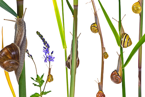 INS 15 KH0023 01 © Kimball Stock Snails Crawling On Blades Of Grass And Flower Stems On White Seamless