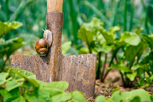 INS 15 KH0027 01 © Kimball Stock Snail Crawling On Shovel In Garden