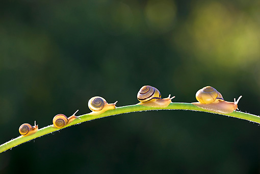INS 15 KH0029 01 © Kimball Stock Snails Crawling On Flower Stem In Garden