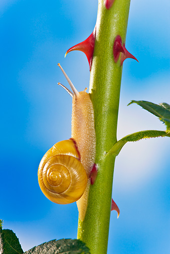 INS 15 KH0031 01 © Kimball Stock Close-Up Of Snail Crawling On Rose Stem In Garden