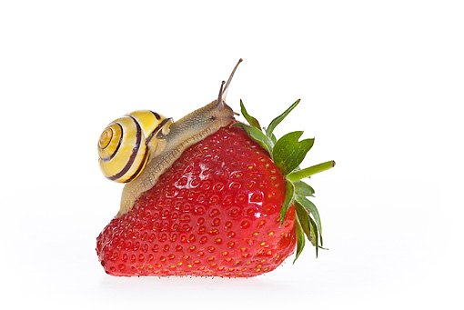 INS 15 KH0033 01 © Kimball Stock Snail Crawling On Strawberry On White Seamless